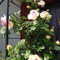 ガーデニング 玄関前の バラが咲きました🌹✨