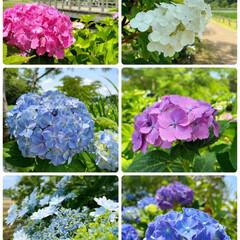 風景/紫陽花祭り/ドライブ/花/紫陽花/おでかけ  良い天気☀️来週は梅雨の天気予報☔️ド…(1枚目)
