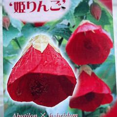 ガーデニング/玄関前/アブチロン姫りんご/花/花のある暮らし  玄関前、去年買ったアブチロン姫りんご🍎…(3枚目)