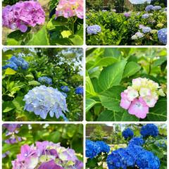 風景/紫陽花祭り/ドライブ/花/紫陽花/おでかけ  良い天気☀️来週は梅雨の天気予報☔️ド…(3枚目)