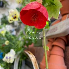ガーデニング/玄関前/アブチロン姫りんご/花/花のある暮らし  玄関前、去年買ったアブチロン姫りんご🍎…(1枚目)