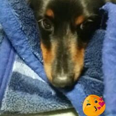 ペット お気に入りの毛布は誰にも渡さないワン🐶(1枚目)