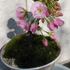 みんなにおすすめ 桜の盆栽づくりをしました。初めて咲いて嬉…