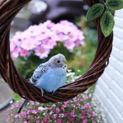 可愛い/セキセイインコ/ナチュラル Baby Lovebird