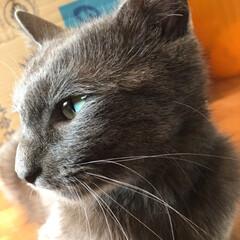 加工なし/猫/うちのしぇりんぼ 綺麗♡ 写真だと綺麗めに見えるけど甘えん…