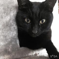 黒猫/フォロー大歓迎/ねこ/猫/ペット/猫のいる生活 ねこ!って感じの質感がたまらなく好き 毛…