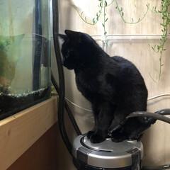 フォロー大歓迎/猫のいる生活/黒猫/ペット/ねこ/猫 今日もタンクの上からどじょうのチェック …