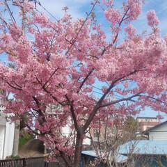 ピンク 河津桜綺麗です^_^