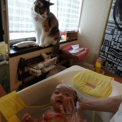 三毛猫/猫/育児/3ヶ月/お風呂 なぜか赤ちゃんの事を近くで無言で見つめる…