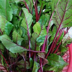 家庭菜園 今年初めてサラダビーツを植えました(*^…