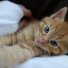 茶トラ/猫/ペット もうすぐ2ヶ月になる「ポン太」。 11月…