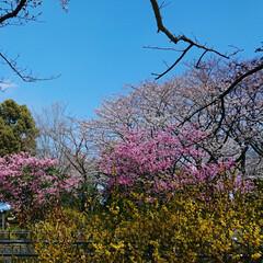 花見/ソメイヨシノ/さくら/お花見/おでかけ/風景/... 家族で今年もまた同じ場所にお花見に行きま…