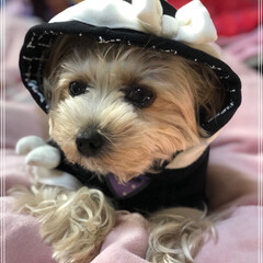 かわいい/ヨークシャテリア/フォロー大歓迎/ペット/ペット仲間募集/犬/... まったり♡ フード 被ると 正に女の子…