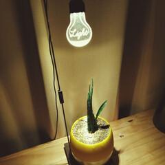 ハイドロカルチャー/観葉植物/ルームライト/オシャレ/ルーチェ/照明器具 ひさびさです。 いい感じに撮れました。(1枚目)