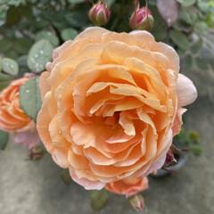 ガーデニング/雨が止んでる/久しぶり/実家/お花たち/今日 今日のお花たち☆  今日はまた実家のお花…