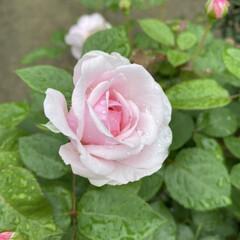 ガーデニング/今日も/実家/雨に濡れるお花たち/梅雨 雨に濡れるお花たち☆  今日も実家のお花…