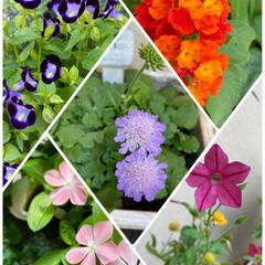 今朝/寄せ植え/お花たち/今日/ガーデニング/花 今日のお花たち☆  今朝のお花たちです♪…