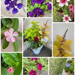 寄せ植え/自宅/お花たち/今朝/ガーデニング/花 今朝のお花たち☆  今朝の自宅のお花たち…