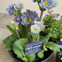 ネメシア/フリルビオラ/プリムラ/植えてあげたい/明日は晴れ/昨日手に入れた/... お花たち☆  昨日手に入れたお花たち♪♪…(2枚目)