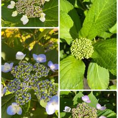 つぼみの上にはクモ/植栽/裏庭/同じアジサイで2色/わが家も咲き始めた/アジサイ/... アジサイ☆  わが家のアジサイも咲き始め…