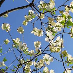 植栽/キレイ/太陽の光/お庭のお花たち/本日は晴天なり/暮らし 本日は晴天なり☆  お庭のお花たちです~…