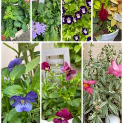 寄せ植え/おうちのお花でテーブルフラワー/自宅/お花たち/今日/ガーデニング/... 今日のお花たち☆  自宅のお花たち♪ で…