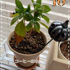 植物/ホームセンター/元気に育つはず/よかった/根詰まり/植え替える/... コーヒーの木☆  コーヒーが好きで♪ コ…