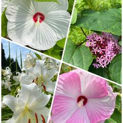 ガーデニング/お日様をあびて気持ちよさそう/実家/お花たち/今日 今日のお花たち☆  実家のお花たちです♪…