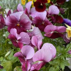玄関/雨に濡れてキレイ/朝/雨上がりのお花たち/植物/寄せ植え/... 雨上がりのお花たち☆  朝のお花たち~~…(3枚目)