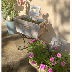 ガーデニング/玄関/花が咲くといいな/植え替える/放っておいたら芽が出た/スカビオサ マツムシソウ/... 今日のお花☆  ちょっとはオシャレな感じ…