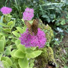 ちょうどとまってくれた/お花たちと蝶々/今日/実家/ガーデニング/花 今日のお花たちと蝶々☆  今日はちょうど…