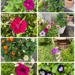 寄せ植え/ガーデニング/ついに梅雨明け/お花たち/今日 今日のお花たち☆  ついに梅雨明けしまし…