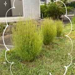 畑の肥料をプラス/今年/モコモコになった/裏庭/コキアちゃん/ガーデニング コキアちゃん☆  裏庭のコキアがモコモコ…