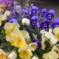 玄関/雨に濡れてキレイ/朝/雨上がりのお花たち/植物/寄せ植え/... 雨上がりのお花たち☆  朝のお花たち~~…(4枚目)
