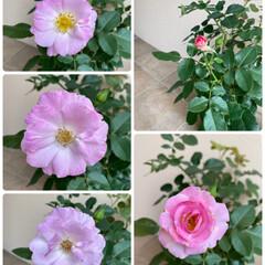 寄せ植え/ガーデニング/同じ種類だけど2色/お花たち/バラ バラとお花たち☆  バラは同じ種類なので…