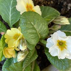 プリムラくらいしか咲いてない/ビオラをチョッキん/お花の苗を買ってみた/久しぶり/みなさんの花の便りに誘われて/お花/... 今日のお花☆  みなさんの花の便りに誘わ…(2枚目)