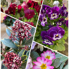 玄関/寄せ植え/植物/スキミア開花宣言/プリムラ/ビオラ/... 今日のお花たち☆  暖かくなって♪ お花…