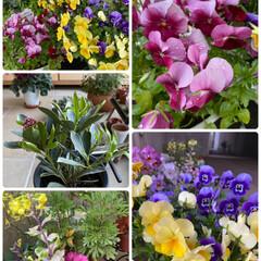 玄関/雨に濡れてキレイ/朝/雨上がりのお花たち/植物/寄せ植え/... 雨上がりのお花たち☆  朝のお花たち~~…