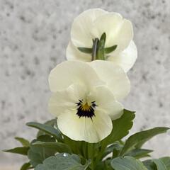 ビオラ78円!!!/白いおじさんも連れて来た/ラナンキュラス198円!!/春のお花たちをたくさん仕入れた/プリムラを添えて/お正月用の植物を仕立て直した/... 今日のお花たち☆  お正月用の植物の仕立…(3枚目)