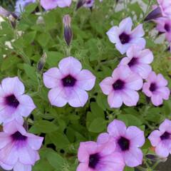まだ咲いている/遅咲きのアジサイ/サフィニアブーケが盛りもり/ピンク/今日のお花たち 今日のお花たち☆  今日のお花たちはピン…(1枚目)