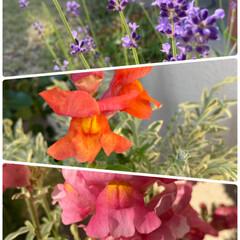 斑入りキンギョソウ/キンギョソウ/ラベンダー/寄せ植え/夕陽をあびて輝く/今日のお花たち/... 今日のお花たち☆  夕陽をあびて輝くお花…