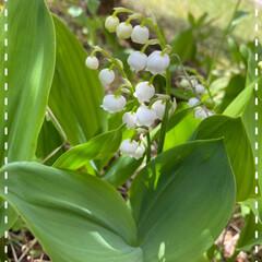 植物/太陽の光をあびて元気/昨日植えたカリブラコア/スズランもキレイに咲いている/お庭/お花たち/... 今日のお花たち☆  お庭のスズランもキレ…
