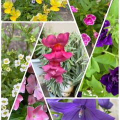 またキレイ/アジサイは見頃/左上ビオラがまだ頑張って咲いている/今日もお花/梅雨/暮らし/... 今日もお花〜☆  左上ビオラがまだ頑張っ…