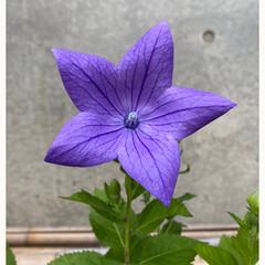 次々と咲きそう/ガーデニング/寄せ植え/咲いていた/今日/キキョウ/... キキョウ☆  今日見たらキキョウが咲いて…