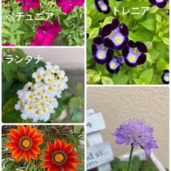 寄せ植え/咲いている/ガザニアが元気/お花たち/今日/ガーデニング 今日のお花たち☆  今日のお花たちです♪…