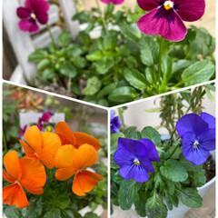 ほぼほぼビオラだけ/自宅/お花/今日/ふりふりビオラが欲しい 今日のお花☆  咲いているお花は… ほぼ…