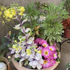 玄関/雨に濡れてキレイ/朝/雨上がりのお花たち/植物/寄せ植え/... 雨上がりのお花たち☆  朝のお花たち~~…(5枚目)