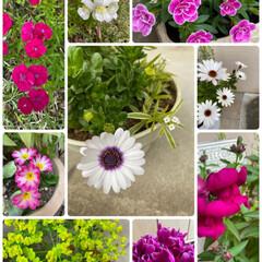 お庭/玄関/寄せ植え/植物/ガーデニング/もう少しコーヒー感が欲しい/... 今日のお花たちとおやつ☆  今日のお花た…