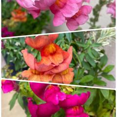 寄せ植え/もうすぐ咲くかな/つぼみがふくらむ/キキョウ/そろって咲く/キンギョソウ3色/... 今日のお花☆  キンギョソウ3色そろって…