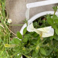 破れる/倒れる/ミニバラは被害にあわず元気/暗くなったと思ったら雹が/今日のお花たち?! 今日のお花たち?!☆  今日は暗くなった…(5枚目)